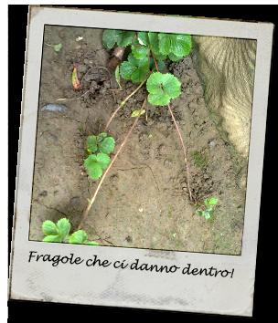 fragole1