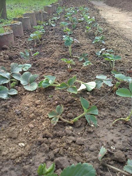 Nuova coltivazione di fragole (Marzo 2014)