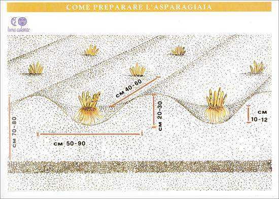 Impianto dell'asparagiaia