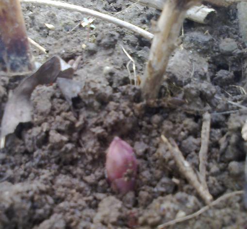 Turione di asparago rosso in fase di uscita dal terreno.