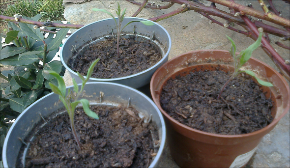 Pomodori ripuntati dopo 5 giorni: sembrano abbastanza in salute!