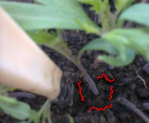 FASE #1: Incidiamo il pane di terra di questo pomodoro; il coltello deve entrare perpendicolare nel terreno, non deve segare, non deve sfruzzicare: affondi netti e decisi.
