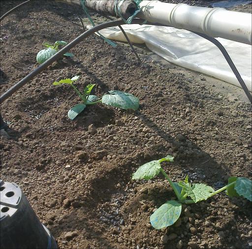 Zucchini in terra a un mese dalla semina. Meglio tenerli ancora coperti di notte, se la posa è precoce (fino a metà Aprile direi!).
