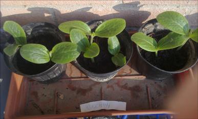 Seminati il 28 Febbraio, questi zucchini genovesi sono spuntati il 7 Marzo e si avviano verso un luminoso futuro! *_*