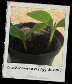zucchino_vaso