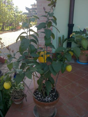 Limone di 3 anni da margotta: semplicemente maestoso *_*