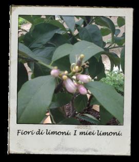 limoni_fiori