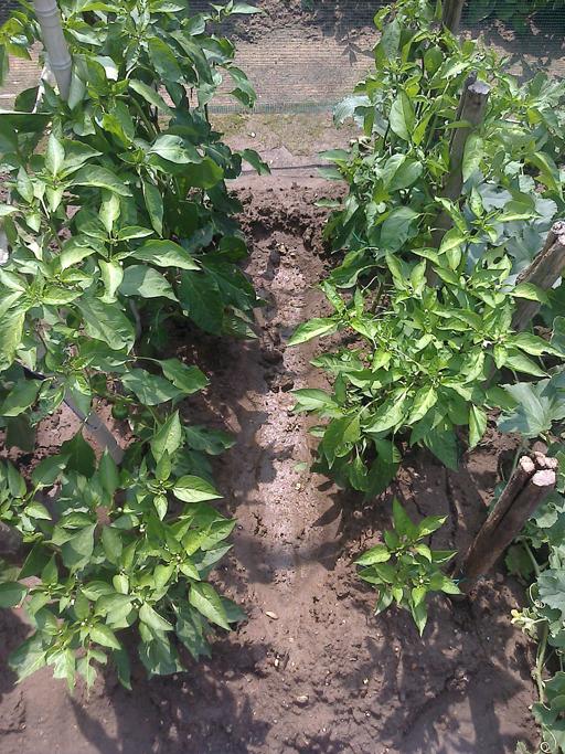 Una coltiva di peperoncini.