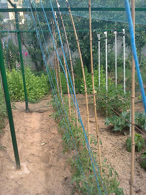 Usando dei tutori a filo (in blu) posso gestire bene i getti basali e ascellari di queste linee di pomodori.