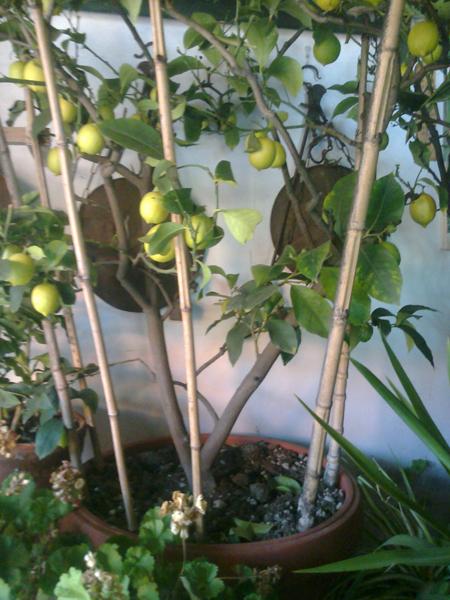 Anche soltanto quattro o cinque canne piantate a semicerchio, possono costituire una spalliera per questo limone sfusato...